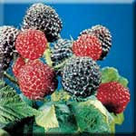 Berries Contain Powerful Anitoxidant Compounds Known as Anthocyanins