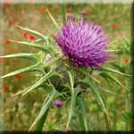 Milk Thistle Supports Brain and Liver Health