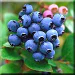Pterostilbene is a Potent Antioxidant Shown to Lower Chronic Disease Risk