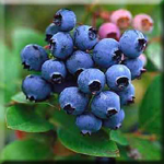 Blueberries Inhibit Formation of New Fat Cells for Storage