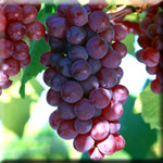 Oligmers From Grapes Shown to Help Prevent Alzheimer's Disease