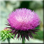Milk Thistle Halts the Progression of Lung Cancer